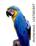 blue and yellow  ara ararauna ... | Shutterstock . vector #1167681847