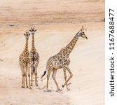 giraffe in kruger national park ... | Shutterstock . vector #1167688477