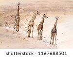 giraffe in kruger national park ... | Shutterstock . vector #1167688501