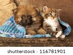 Stock photo  spitz puppy and kitten breeds maine coon cat and dog 116781901