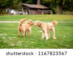 Two Poodle Cross Mix Dogs In A...