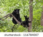 Momma Bear With Two Cubs In A...
