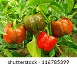 bell pepper plant with ripening ...   Shutterstock . vector #116785399