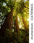 muir woods national monument ... | Shutterstock . vector #1167858631