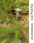 small fruit body of clitocybe...   Shutterstock . vector #1167926761