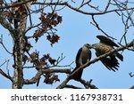 Mississippi Kite Feeding Its...