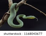 Small photo of Green Viper or also known as the Sea Wreck Snake (Trimeresurus albolabris) is one species of venomous snake that lives in Indonesia. Snakes from the Viperidae family have venom that are strong enough