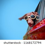 chocolate lab riding in a car...   Shutterstock . vector #1168172794