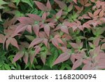green and red leaves | Shutterstock . vector #1168200094