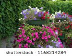 lavatera  bloom pink flowers.... | Shutterstock . vector #1168214284