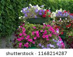 lavatera  bloom pink flowers.... | Shutterstock . vector #1168214287