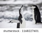 some penguins in the arctic... | Shutterstock . vector #1168227601