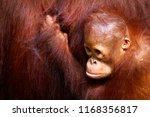 Female Orangutan And Her Baby...
