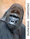 Great Gorilla Male