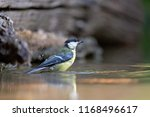 the great tit on the river ... | Shutterstock . vector #1168496617