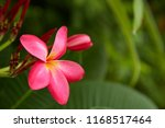 frangipani flowers close up... | Shutterstock . vector #1168517464