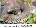 Funny Grass Snake  Taken In...