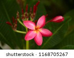 frangipani flowers close up... | Shutterstock . vector #1168705267