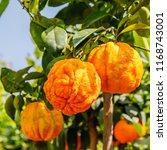 citrus aurantium corrugato or... | Shutterstock . vector #1168743001