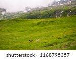 high altitude mountain sheep in ... | Shutterstock . vector #1168795357