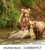 Two grizzly bear cubs in a river in Alaska. One cub is on top of a rock in the river, one cub is in the river standing next to the other cub on the rock. Both cubs are fishing for salmon.