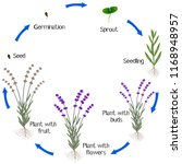 cycle of a lavender plant...   Shutterstock .eps vector #1168948957