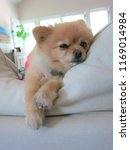 Pomeranian Lounging On Couch