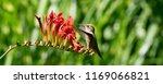 rufous hummingbird on crocosmia ... | Shutterstock . vector #1169066821