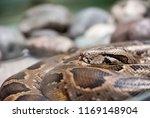 Indian Rock Python  Python...