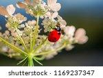 ladybug is on the flower head....   Shutterstock . vector #1169237347