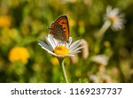 """""""large copper"""" butterfly on the ...   Shutterstock . vector #1169237737"""