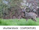 male roe deer during a fight ... | Shutterstock . vector #1169265181