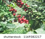 coffee plant on the tree | Shutterstock . vector #1169382217