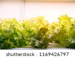 organic hydroponic vegetable... | Shutterstock . vector #1169426797