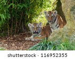 Two Adorable Amur Tiger Cubs...