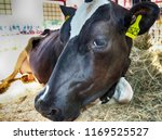 purebred cow at an agricultural ... | Shutterstock . vector #1169525527