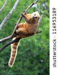 Small photo of nasua coati on tree branch