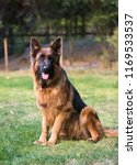 german shepherd dog | Shutterstock . vector #1169533537
