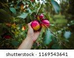 teenager hand picking apple | Shutterstock . vector #1169543641