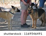 dogs socializing at canine...   Shutterstock . vector #1169546491
