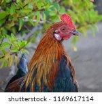 rooster portrait in hawaii.    Shutterstock . vector #1169617114