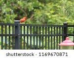 red male northern cardinal bird ... | Shutterstock . vector #1169670871