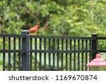 red male northern cardinal bird ... | Shutterstock . vector #1169670874