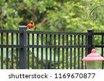 red male northern cardinal bird ... | Shutterstock . vector #1169670877
