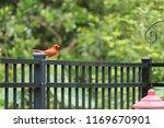red male northern cardinal bird ... | Shutterstock . vector #1169670901