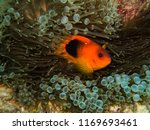 saddleback anemone fish ... | Shutterstock . vector #1169693461