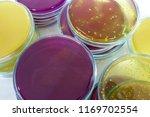 lactobaccillus rhamnosus plate... | Shutterstock . vector #1169702554