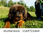 walking a tibetan mastiff puppy ... | Shutterstock . vector #1169721664