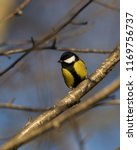 great tit songbird perched on a ... | Shutterstock . vector #1169756737