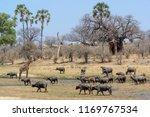 african buffalo or cape buffalo ... | Shutterstock . vector #1169767534